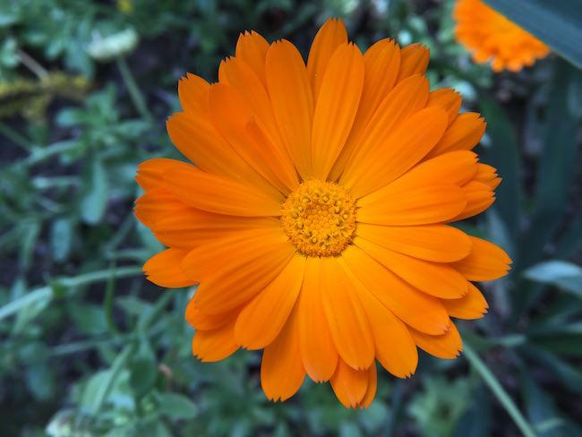 fiore arancio Inmacus +5
