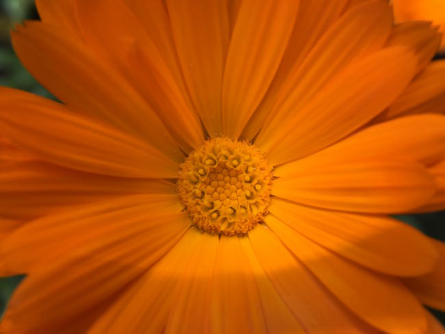 fiore arancio inmacus +13