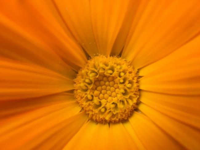 fiore arancio inmacus +18