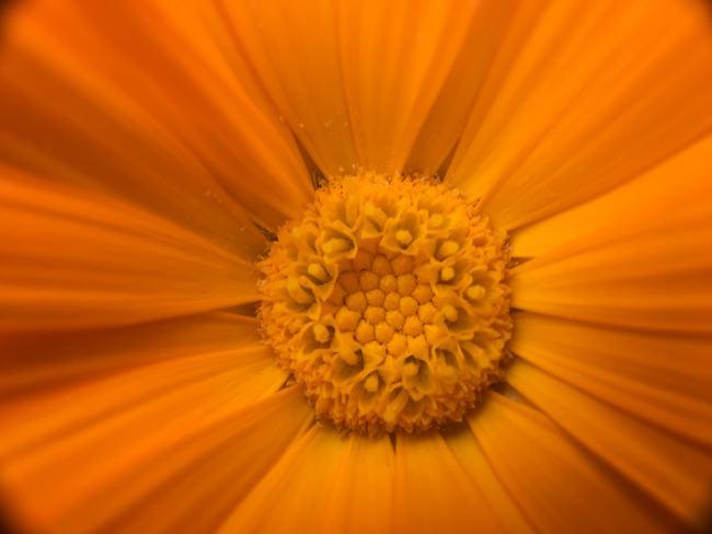 fiore arancio inmacus +23