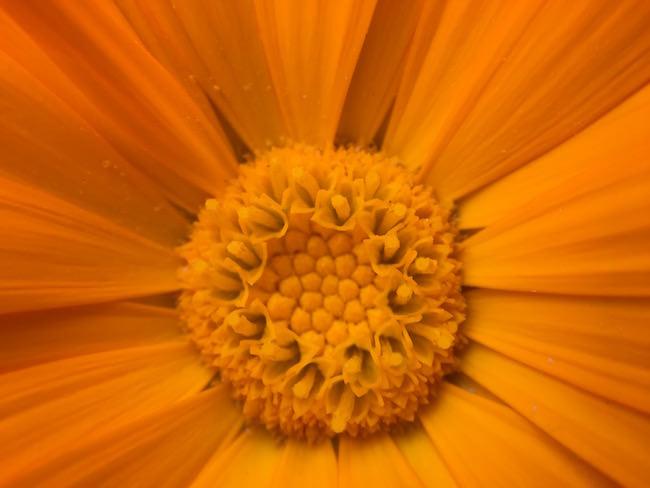 fiore arancio olloclip 10X