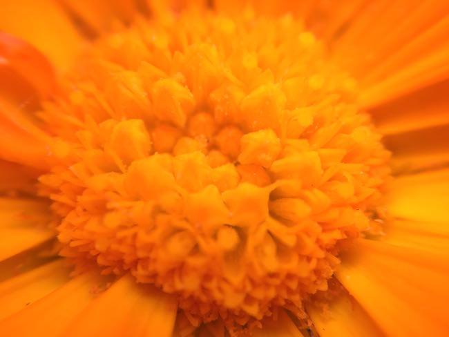 fiore arancio olloclip macro 15x