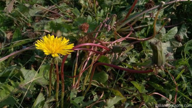 primo piano fiore vernee mars