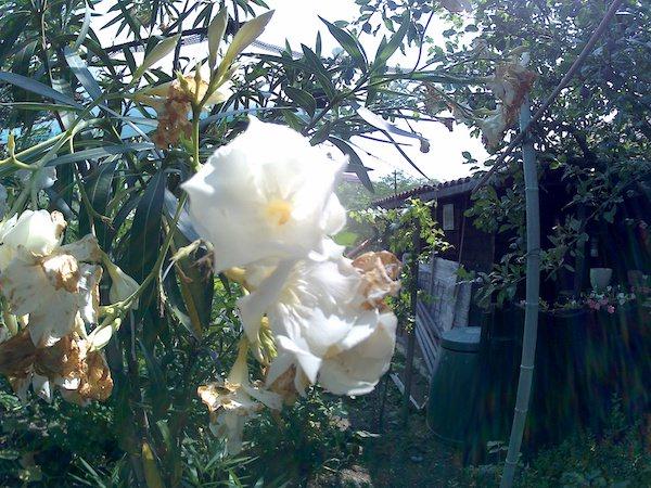 foto fiore bianco magenta mgcool esplorer pro